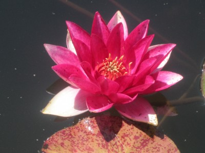 kaizen water lilly
