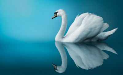 white swan reflection in water